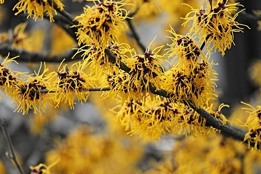 witch-hazel-3137717__340